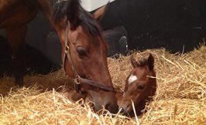 Quevega and her filly foal at the Irish National Stud