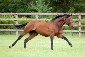 Aqlaam stood for four seasons at Shadwell's Nunnery Stud